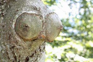 Stamm eines Baumes, der aussieht, als wüchsen da Brüste heraus - eine Baumgöttin